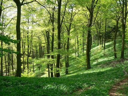 Bärlauchwald © Naturpark Teutoburger Wald / Eggegebirge