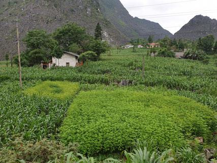 Hanfplantagen in mitten von Maisfeldern im Norden von Vietnams