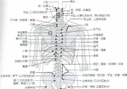 チャプマンによる内臓器官反射点