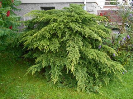 Arbuste Juniperus avant sa taille Niwaki à Perrigny dans le Jura (39)