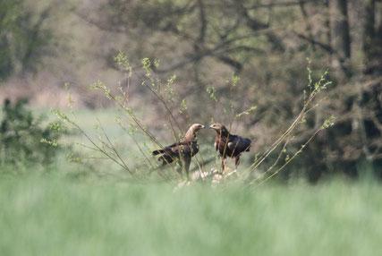 Schreiadlerpaar im Brutrevier - Foto: Rik Vetter