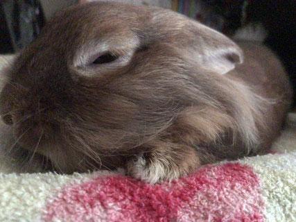 眠そうなうさぎの写真