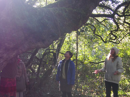 プラットボスのグランドマザー「ミルクウッド」の木と