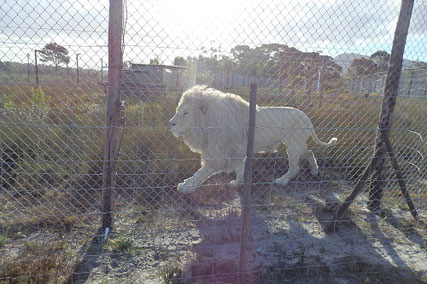Panthera Africaのライオンキング「