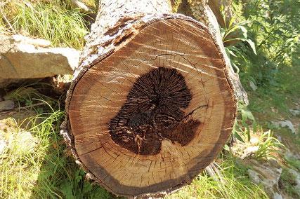 中が腐って倒れた木
