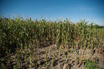 Biber, Konflikte, Schaden, Schadensersatz, Feldfrüchte, Mais, Schäden