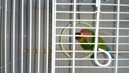 福岡県手乗りインコ小鳥販売ペットミッキン コザクラインコとボタンインコが仲間入りしました。