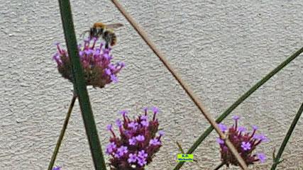 Viollette Blütenbüschel des Patagonischen Eisenkrauts, die in prallen Sonnenschein leuchten und geflügelte Besucherin wie diese hübsche Wildbiene anziehen. Von K.D. Michaelis