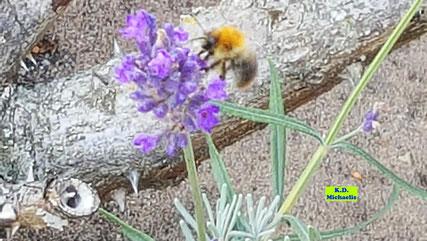 Wildbiene beim Anflug auf eine lila blühende Lavendelblüte von K.D. Michaelis