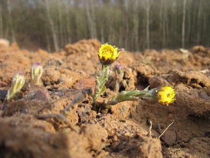 Huflattich Blüte Sandboden