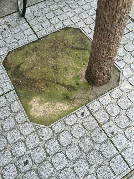 舗装された真砂コンクリート(?)全てにヒビが入っている。それにしても、これはそれ以前に植え場所が真ん中でなく端。こんなの公共工事で許されるんだ・・・