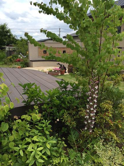 今年から咲き始めたアカンサス・モリス 次々と咲く植栽計画が成功している