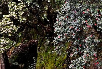 天空の城苗木城桜名所花見中津川市春の香り、たけのこわらびたらのめこんてつこしあぶらこごみうるい山菜。美菜ガルテンふるかわ美菜ガルテンふるかわ絶対満足!グルメお値打ち和食ランチ極上