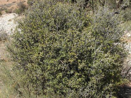 Rhamnus oleoides (Nerprun faux-olivier), plante-hôte de C. avis lhafii, 2017, ©Frédérique Courtin-Tarrier