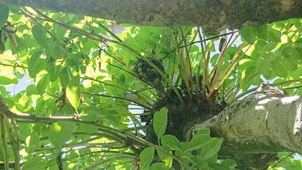 クロガネモチに作ったアシナガバチの巣