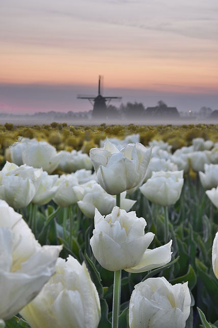 605 Witte tulpen en molen bij zonsopkomst (3801-3804)