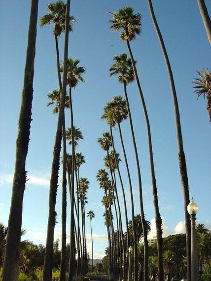 Palmen von Santa Monica, California