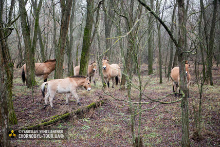 Przewalski's horses in Chornobyl