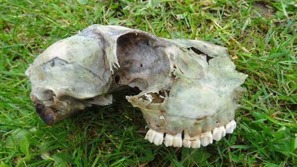 Crâne de chevreau, Forêt d'Ecouves, Orne (61)