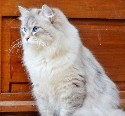 Chat aux yeux bleu