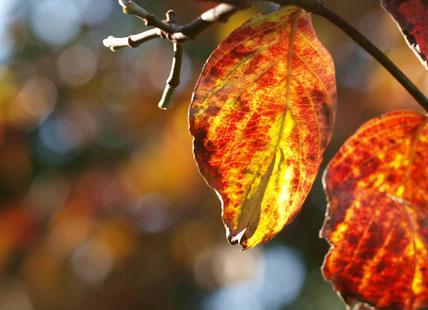 ラリーポイント I の都立武蔵野の森公園にて。ハナミズキの葉っぱが午後の陽射しをうけて輝いていました