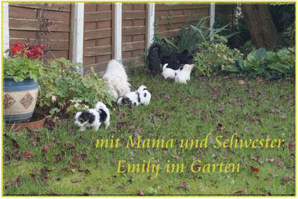 unsere Biewer-Yorkshire-Welpen sind morgen schon sieben Wochen alt