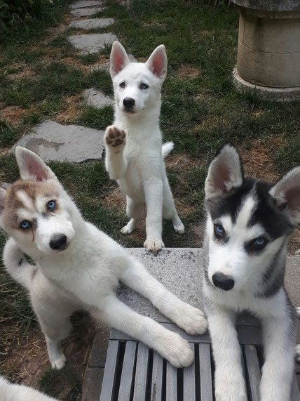 Mister Deeks & miss Joy (PomSky), misses Tania & Zora  (Spitz) , Willow  (inuit)