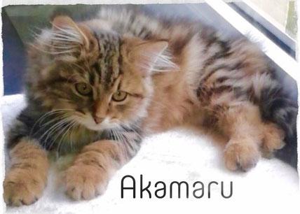 Sibirische Katze, Akamaru of TheRoseFamily