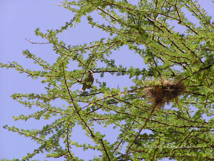 bird and nest in africa