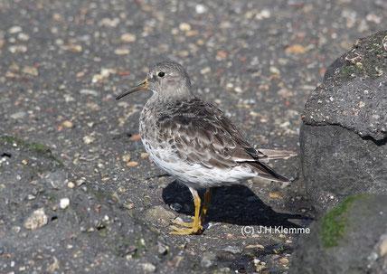 Meerstrandläufer (Calidris maritima) adulter Vogel, Schlichtkleid [Sept]