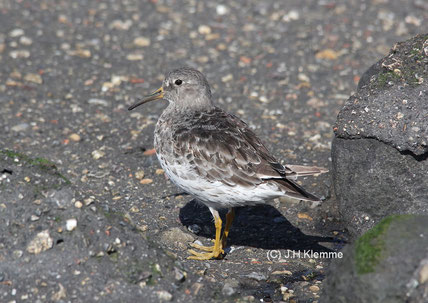 Meerstrandläufer (Calidris maritima) Adulter Vogel im Schlichtkleid (Küste bei Westkapelle, NL) [September]