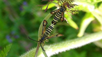 Hornklee-Glasflügler (Bembecia ichneumoniformis) (M. Frenzel)