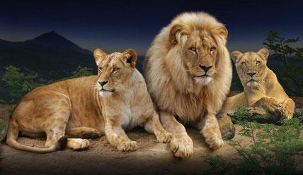 Bild vom Loro Park, welches 3 afrikanische Löwen zeigt. (El Día)