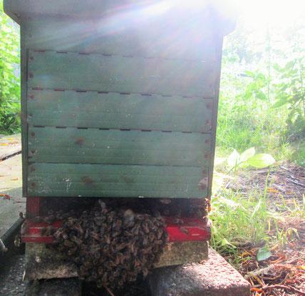 Fünf-Waben-Ableger mit Bienenüberschuss