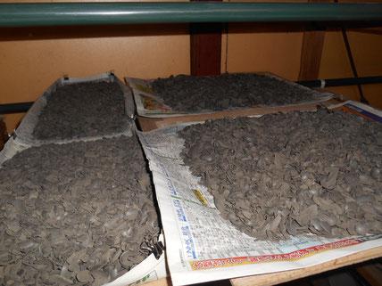 乾燥チップを作る為に削った粘土。4~5時間の作業。