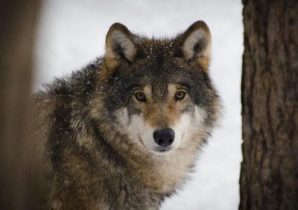 Geschichte der zwei Wölfe