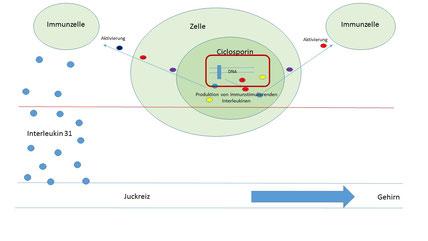 Cyclosporin hemmt die Bildung von Botenstoffen des Immunsystems welche für die Aktivierung der Immunzellen zuständig sind.