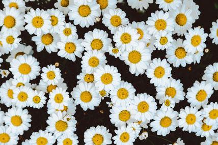 Kamillentee oder Kamillenwickel sind ein altbewährtes Hausmittel aus Omas Trickkiste