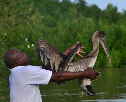 Brown pelican released. Set free. Rehabilitation. Wildlife rescue. Environemntal conservation.