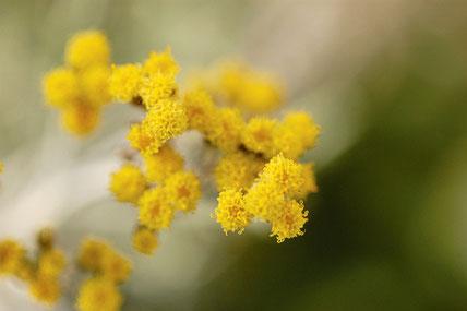 Ätherische Öle aus der Strohblumen - Pflanze