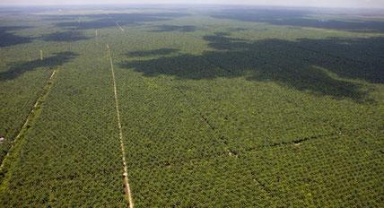 Champs de palmiers à huile