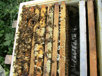 Bienen- Jungvolk Ende Juli