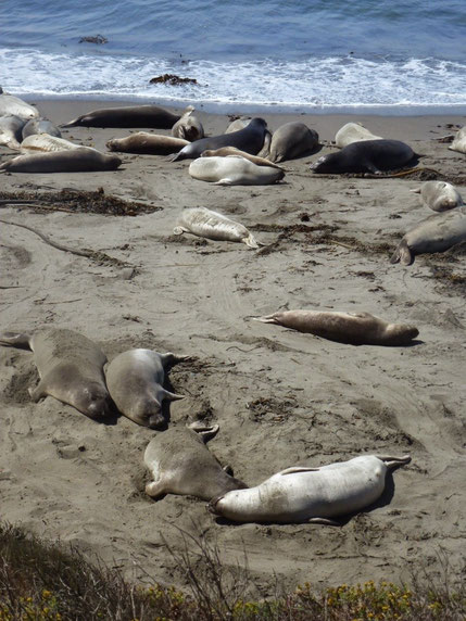 Elephant seals sunning themselves