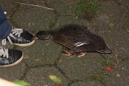 Speedy hatte auch ihre Mama verloren. Sie wurde mir wenige Tage alt gebracht, als sie sich verzweifelt Hühnern anschließen wollte.
