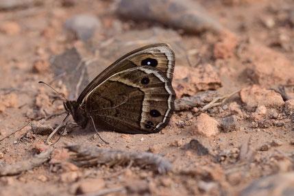 B. abdelkader taghzefti, mâle, Oufraou, Djebel Ayachi, Haut Atlas nord-oriental, 2018, ©Frédérique Courtin-Tarrier
