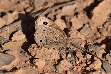 B. abdelkader taghzefti, femelle, Oufraou, Djebel Ayachi, Haut Atlas nord-oriental, 2018, ©Frédérique Courtin-Tarrier
