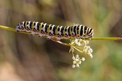 Chenille de P. machaon sur Deverra chloranthus, plante-hôte de Papilio saharae, Tizi Tazougart, région de Missour, septembre 2018, ©Frédérique Courtin