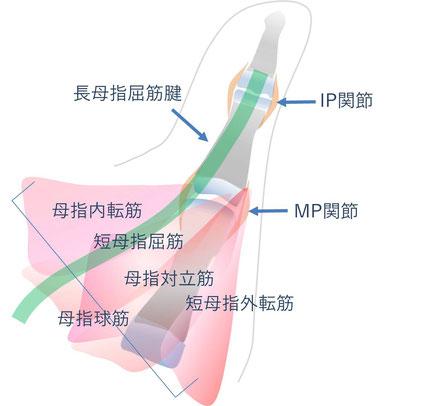 母指多指症に関連する母指の解剖