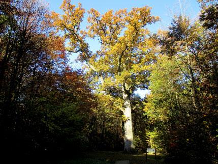 Chêne Hippolyte, près de Bagnoles de l'Orne, 300 ans... Là où règne la sérénité....
