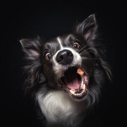 Hund, Tier, Hündchen, Dog, Doggo, Tierfoto, Hund fängt Futter, Hund und Leckerli, Tierfotograf, Fotograf Tulln Umgebung, Fotograf Wien Umgebung, Sebastian Frank Fotografie, lustiges Hundebild, Hundeportrait, geblitzt